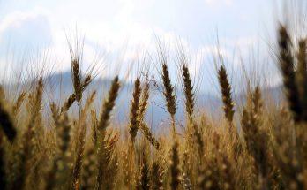 Zwalczanie chwastów jest dla rolnictwa bardzo ważne